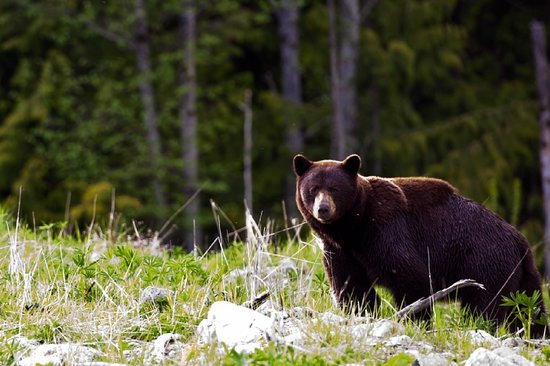 Whistler, Kanada: Bear. Chad Chomlack